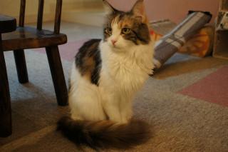 真っ白でモフモフの超巨大猫ラグドールに会ってきた,猫カフェ