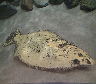 ヒラメの画像 p1_33