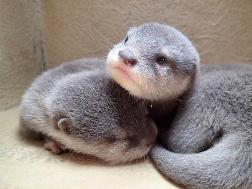 http://news.mynavi.jp/articles/2014/10/16/otter/images/018.jpg