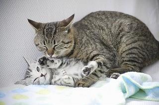 猫はなぜ喉をゴロゴロ鳴らすのか