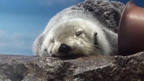 ラッコの寝顔があまりにかわいいと話題に 東京都サンシャイン水族館