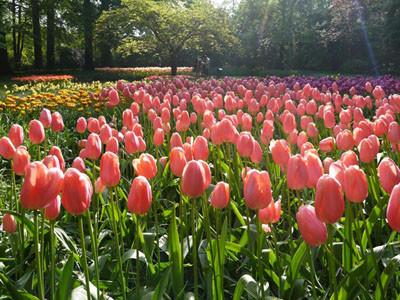 4,500万輪以上の花が咲く砂漠の庭園も