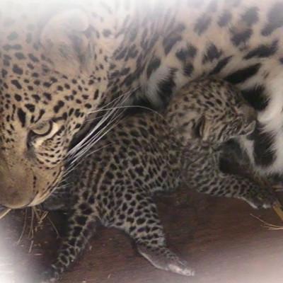 福岡県・福岡市動物園にネコ科のヒョウの赤ちゃんが誕生!