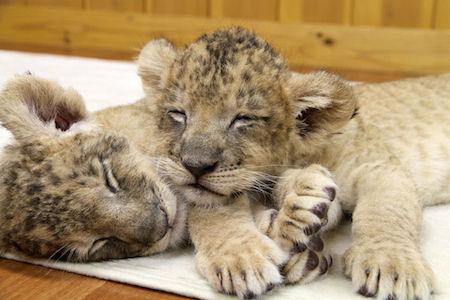 双子のライオンの赤ちゃんの寝顔を紹介 , 富士サファリパーク