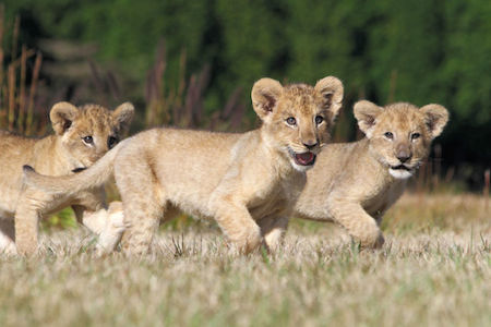 ライオンの3つ子の赤ちゃんを公開中
