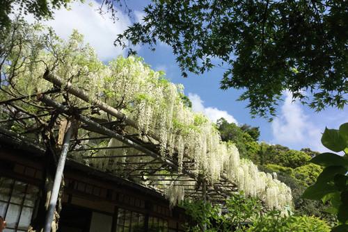 桜が終わり、春のポカポカ陽気となる4月下旬から5月上旬ともなると、咲く花の種類も増え、鎌倉散策の楽しみも増える。今回は鎌倉グルメを楽しみながら、藤やツツジなど春の花を愛でながら歩いて行こう。