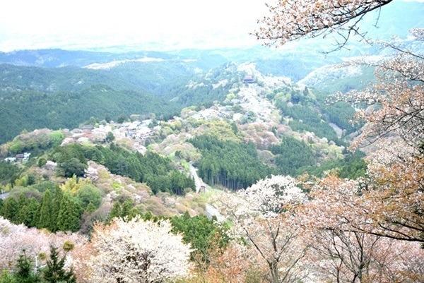 吉野山がピンクに染まる! 秀吉も愛でた3万本の桜絶景はハイキングとともに