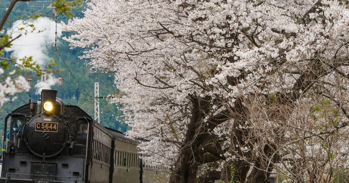 大井川鐵道、全線開通の井川線乗車と桜名所を訪ねる日帰りツアー
