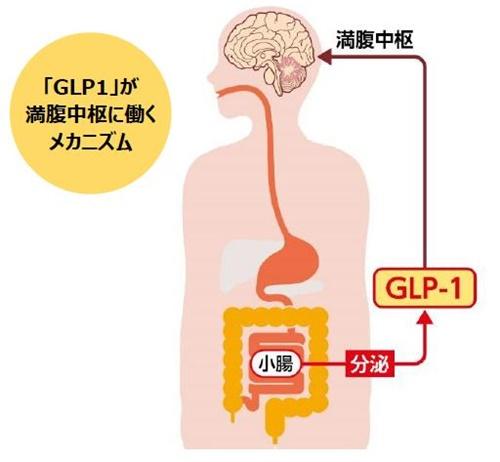 「GLP1」が満腹中枢に働くメカニズム