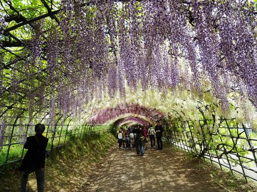 息を呑むほど美しい! 世界が絶賛する「河内藤園」では藤が優しく降ってくる