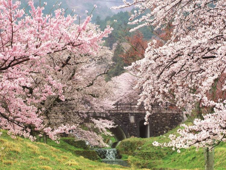 池田町の桜