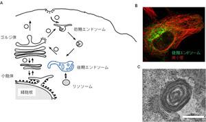 理研、哺乳類の細胞内小器官中に古細菌型の脂質が存在することを確認