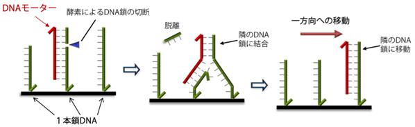 image:京大、分子モーターの進行をナノスケールで制御することに成功
