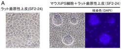 東北大ら、歯の再生につながるiPS細胞から「エナメル芽細胞」の誘導に成功 - 住まい・インテリアニュー速VIP