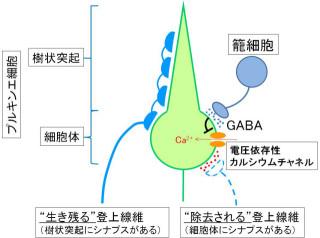 東大、「シナプス刈り込み」には抑制性神経伝達物質「GABA」が必須と究明