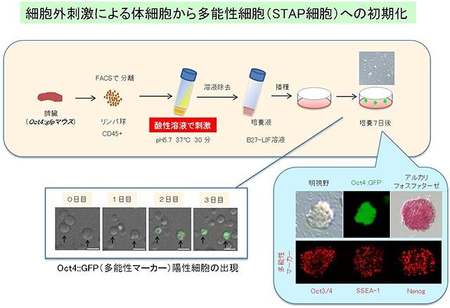 image:理研など、動物の体細胞を万能細胞(多能性細胞)へと初期化する新手法を開発