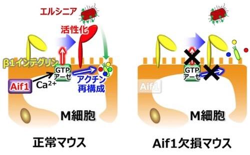 bcf770ac3a22b Aif1のM細胞における機能(出所 ニュースリリース※PDF)