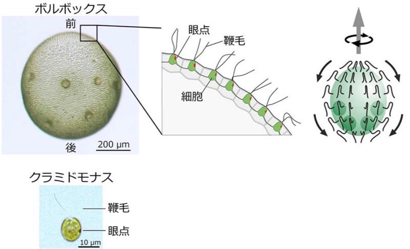 ボルボックス・ルーセレティの顕微鏡像と模式図。ボルボックスの細胞から生える鞭毛は全て後ろに向かって打つため、個体は自転しながら前進遊泳する(出所:東工大ニュースリリース※PDF)