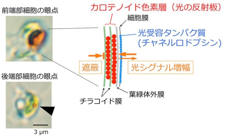 個体前端部付近の細胞(上)と後端部付近の細胞(下)の眼点と、眼点の模式図(右)(出所:東工大ニュースリリース※PDF)