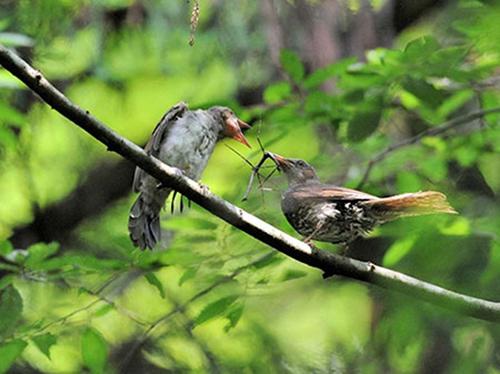 ナナフシは鳥に食べられて卵を遠...