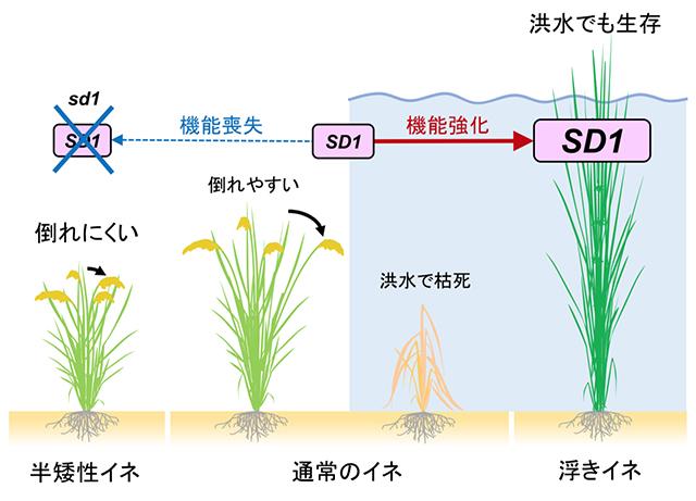 イネの草丈とSD1遺伝子の関係(出所:東北大学ニュースリリース)