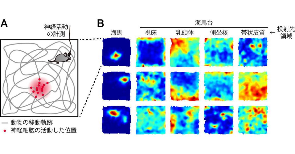 大阪市立大など、脳における空間認識情報の分配・伝達の仕組みを解明 ...