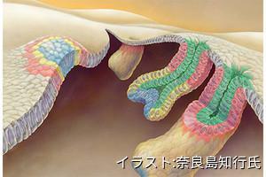 毛包幹細胞は従来の仕組みとは別の仕組みで誘導されることを理研などが解明