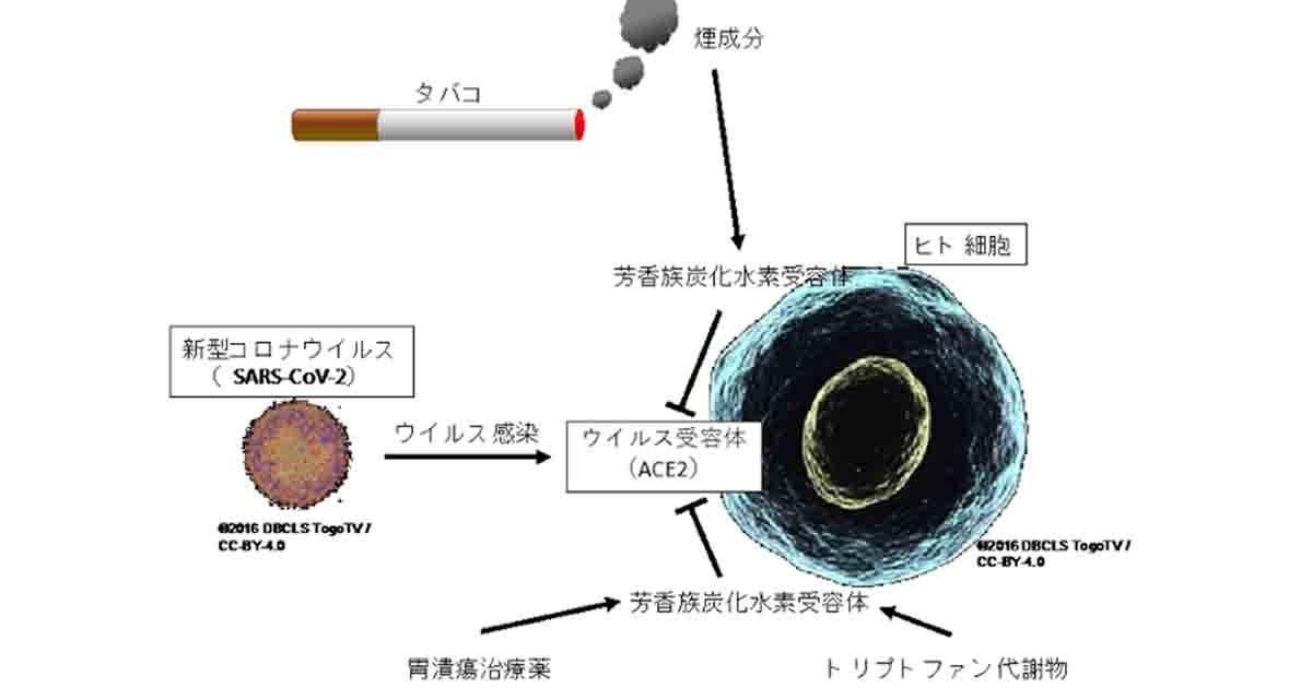 タバコの煙から抽出した物質にヒト細胞へのコロナ感染抑制効果を確認